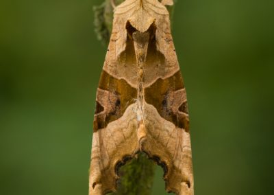 Anlge Shades moth