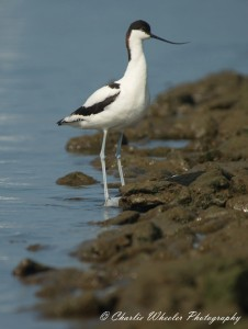 Despite being relatively uncommon on the Fleet, a few Avocet are still seen annually.