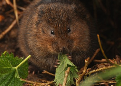 Hungry Water Vole