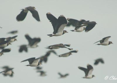 Lapwing flock (web)