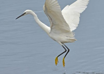 Little Egret Taking Off