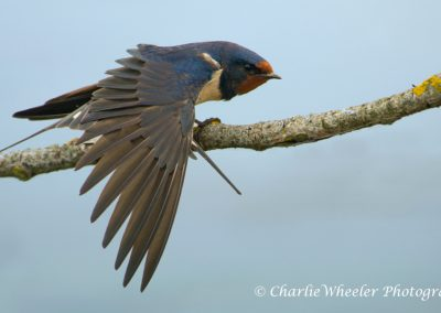 Stretching Swallow