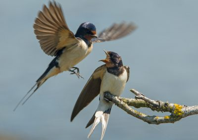 Swallow Pair
