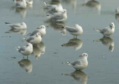 Black-headed gulls in winter plumage