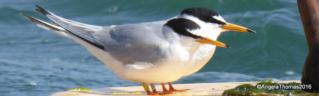 Colour ringed Little Terns at Ferrybridge