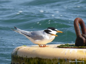 2-Little Tern (47) - Copy