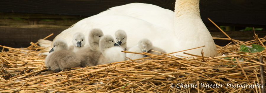 First cygnets hatch at Abbotsbury Swannery!