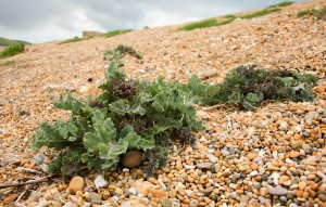 Sea Kale on Chesil Beach