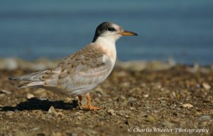 Fig 1: Fledged Common Tern Chick with ring © Charlie Wheeler
