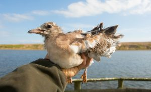 First ringed & fledged Black-headed Gull chick. © Charlie Wheeler