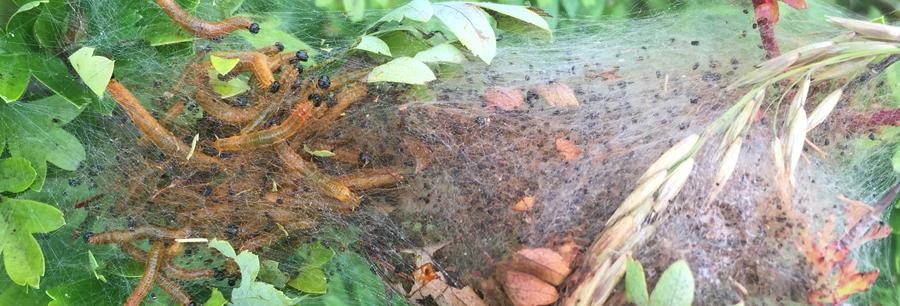 Social Pear Sawfly