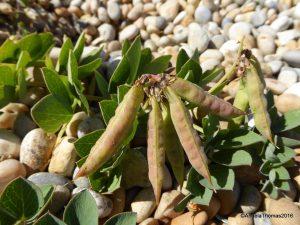 Sea Pea - Seed