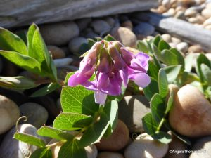 Sea Pea - Flowers