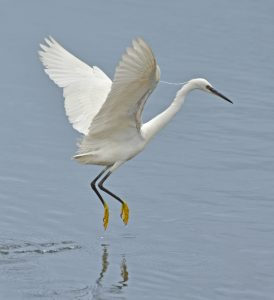 Fig 3: The yellow feet of the Little Egret. © Charlie Wheeler