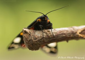 Scarlet Tiger moth 3