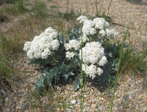 Fig 1: Sea Kale in flower © Don Moxom