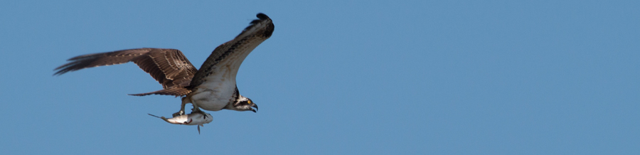 Osprey with catch of the day!