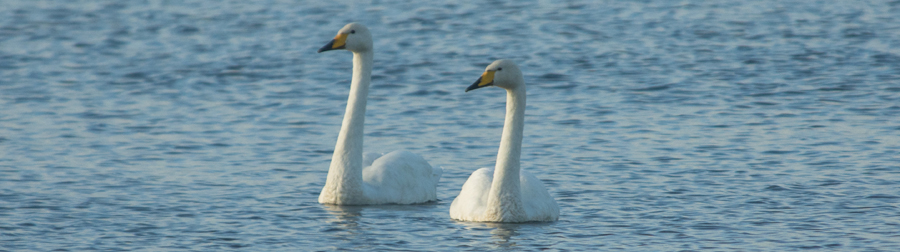 Whooper Swans at Abbotsbury Swannery