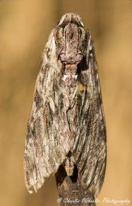 Convulvulous Hawkmoth © Charlie Wheeler