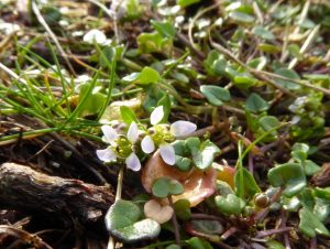 Danish scurvy-grass in flower on Chesil, 3 February 2017 ©Angela Thomas