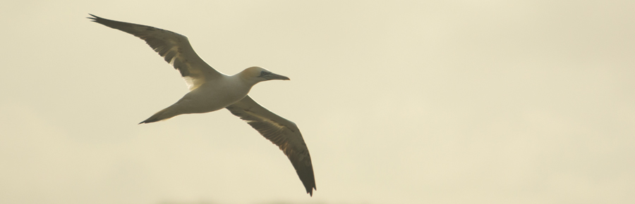 Gannet on the Fleet