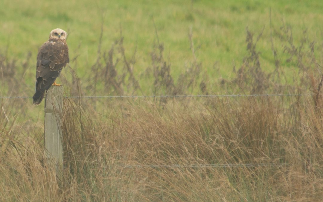 Marsh Harrier preening