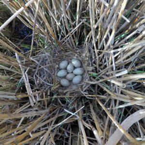 Moorhen Nest