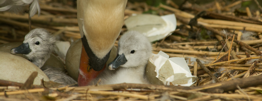 First cygnets hatch at Abbotsbury