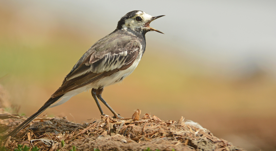 Pied Wagtail Feeding Chicks
