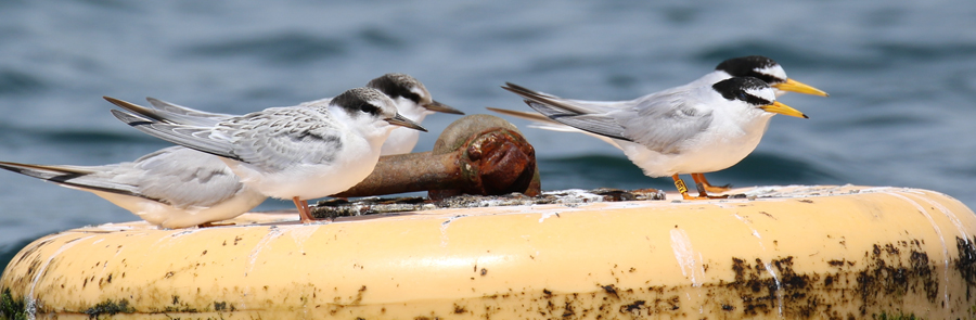 Another great year for Chesil's Tern colonies