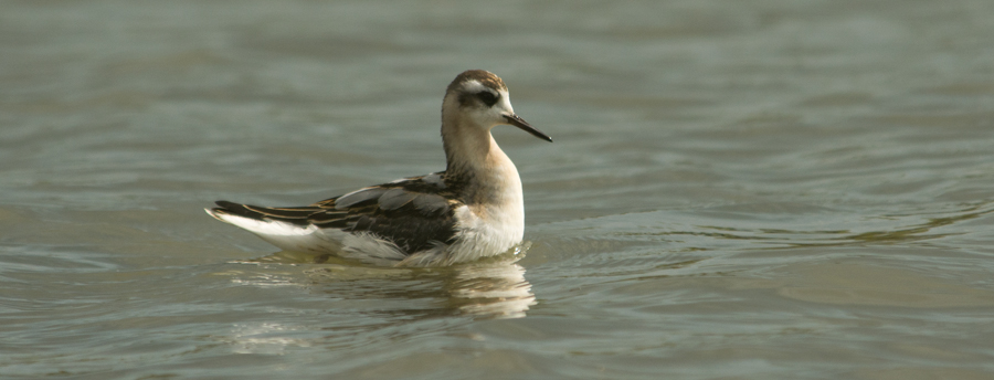 Strong winds bring Grey Phalaropes to the Reserve