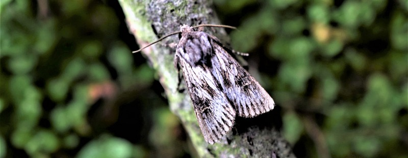 Moth trapping on the West Fleet – 2017
