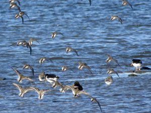 Dunlin and Oyster Catcher - Herbury - Janice Beck