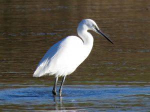 Little Egret - Herbury - Janice Beck
