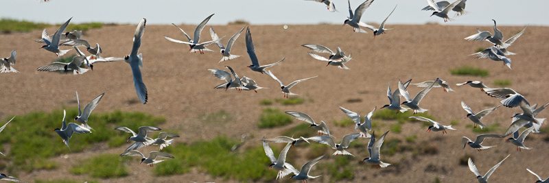 Another successful year for Common Terns at Abbotsbury