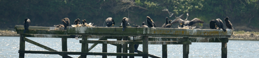 Cormorants nest on the Reserve for the first time!