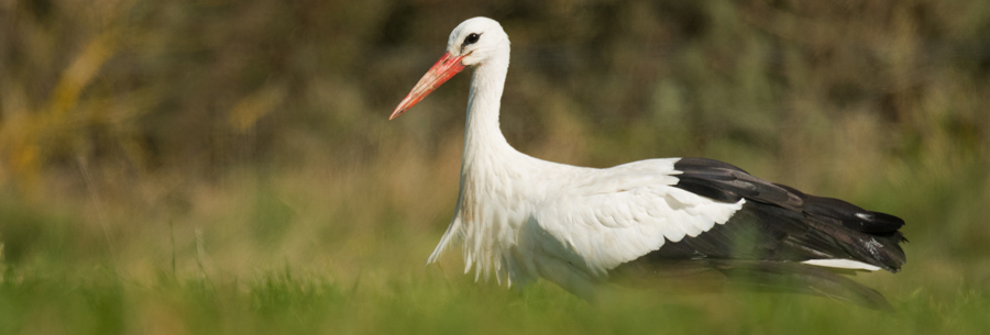 The first White Stork to stop in at Abbotsbury Swannery